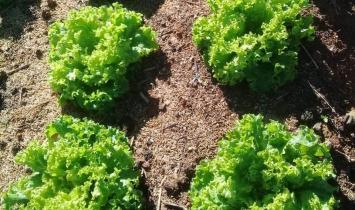 Produtor alia plantio convencional ao uso de tecnologia no cultivo de hortaliças